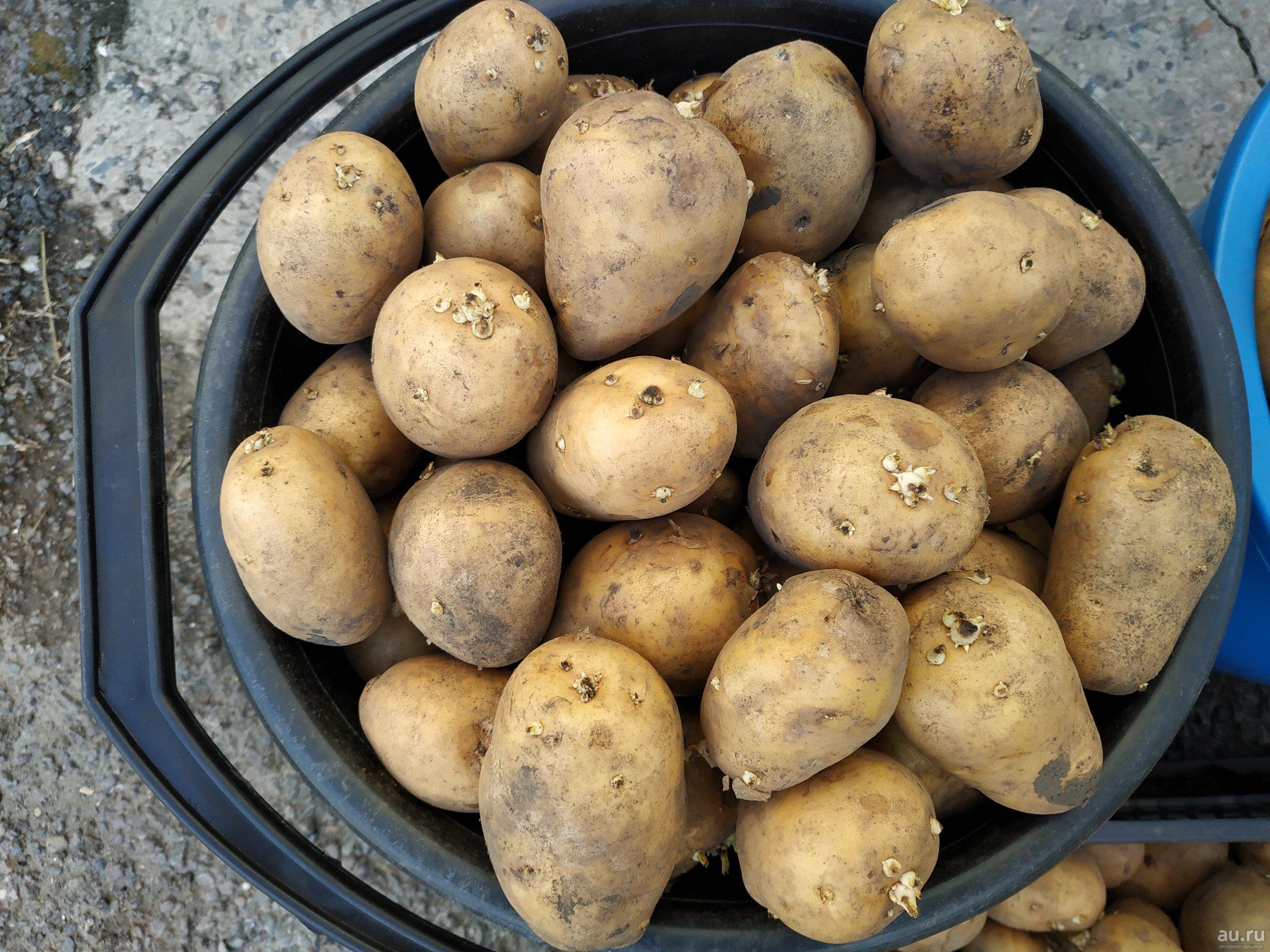 Сорт картофеля латона: описание, посадка и уход русский фермер