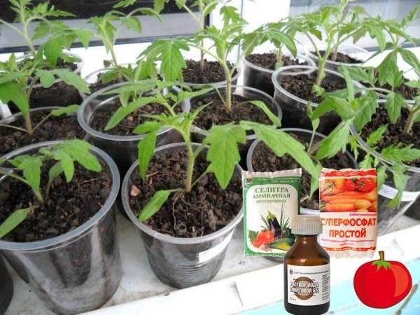Чем подкормить рассаду помидор после пикировки?