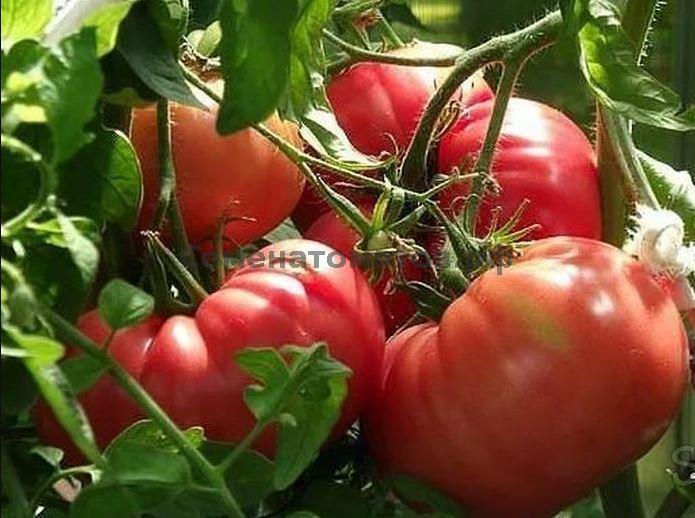 Томат сибирские шаньги: характеристика, описание сорта, отзывы, фото, урожайность