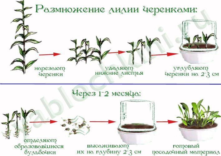 Размножение лилий — черенками, бульбочками, луковицами, чешуйками, семенами, стеблем и листом