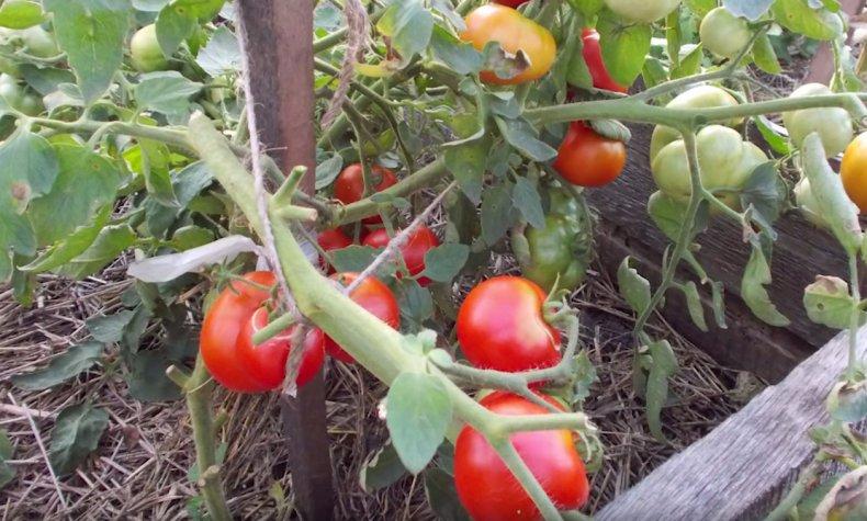 Лучшие сорта томатов для подмосковья для теплиц с фото, описанием отзывы