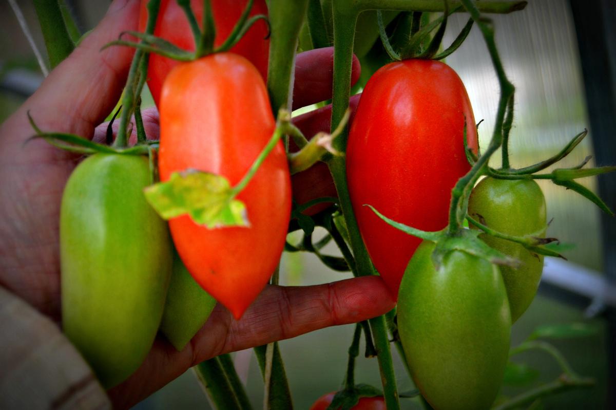 Томат красная сосулька - описание и характеристика сорта
