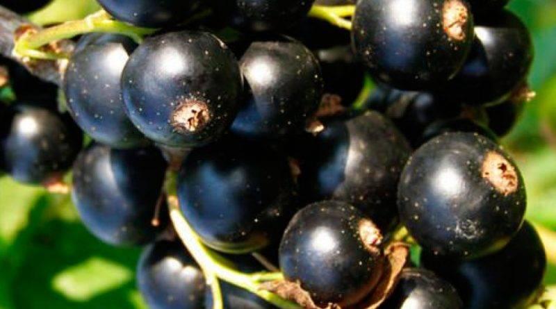 Лучшие сорта черной смородины для подмосковья, сибири