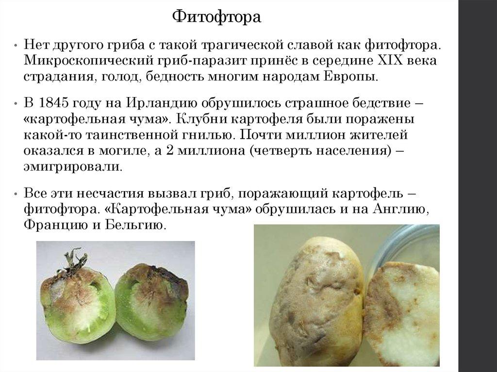 Ризоктониоз картофеля: фото, описание и лечение заболевания