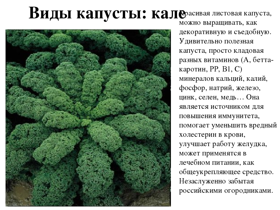10 лучших сортов листовой капусты с описанием и характеристиками, выращивание