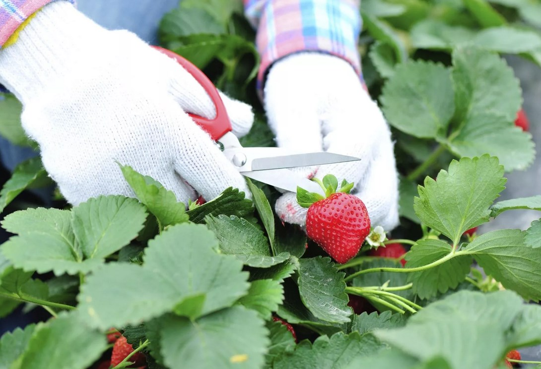 Технология выращивания клубники, посадка, подкормка, уход за ягодой технология выращивания клубники, посадка, подкормка, уход за ягодой