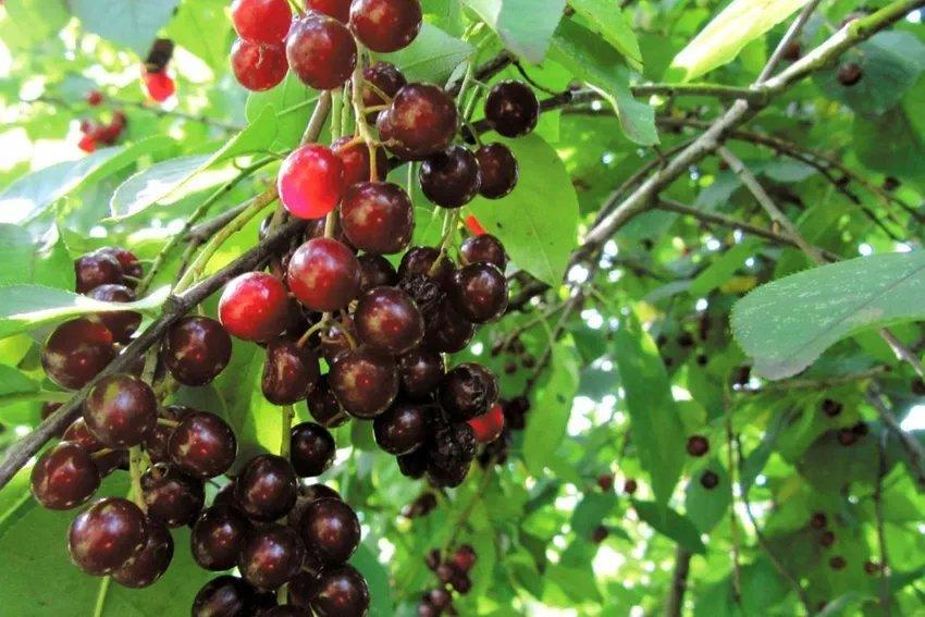 ✅ гибрид черемухи и вишни полезные свойства - питомник46.рф