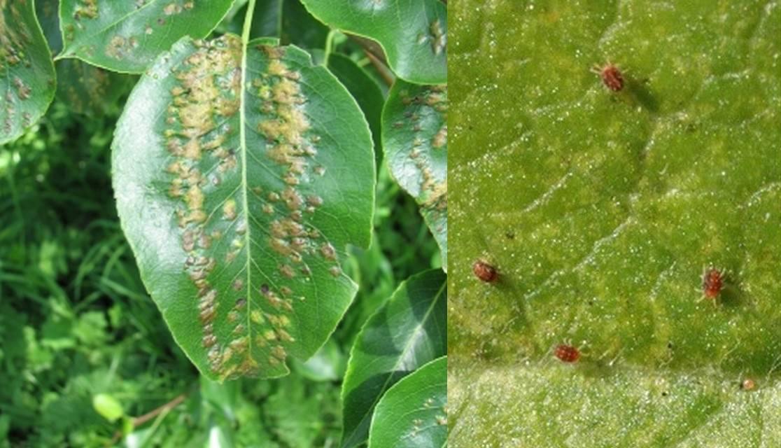 Ржавчина груши. как предотвратить заболевание, как лечить дерево и можно ли есть пораженные плоды