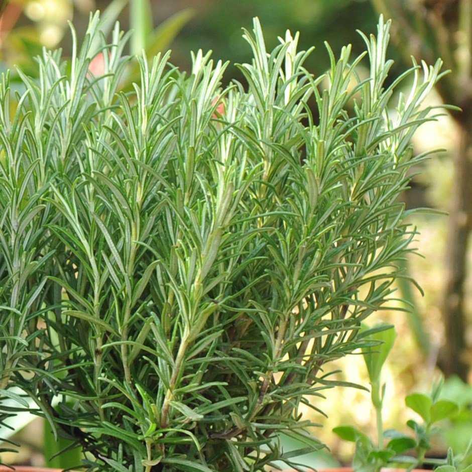 Розмарин: выращивание в открытом грунте в подмосковье, адаптированные сорта, правила посадки и последующего ухода