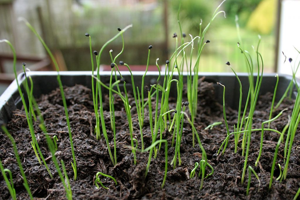 Лук-порей — выращивание из семян и когда сажать на рассаду 2021 года