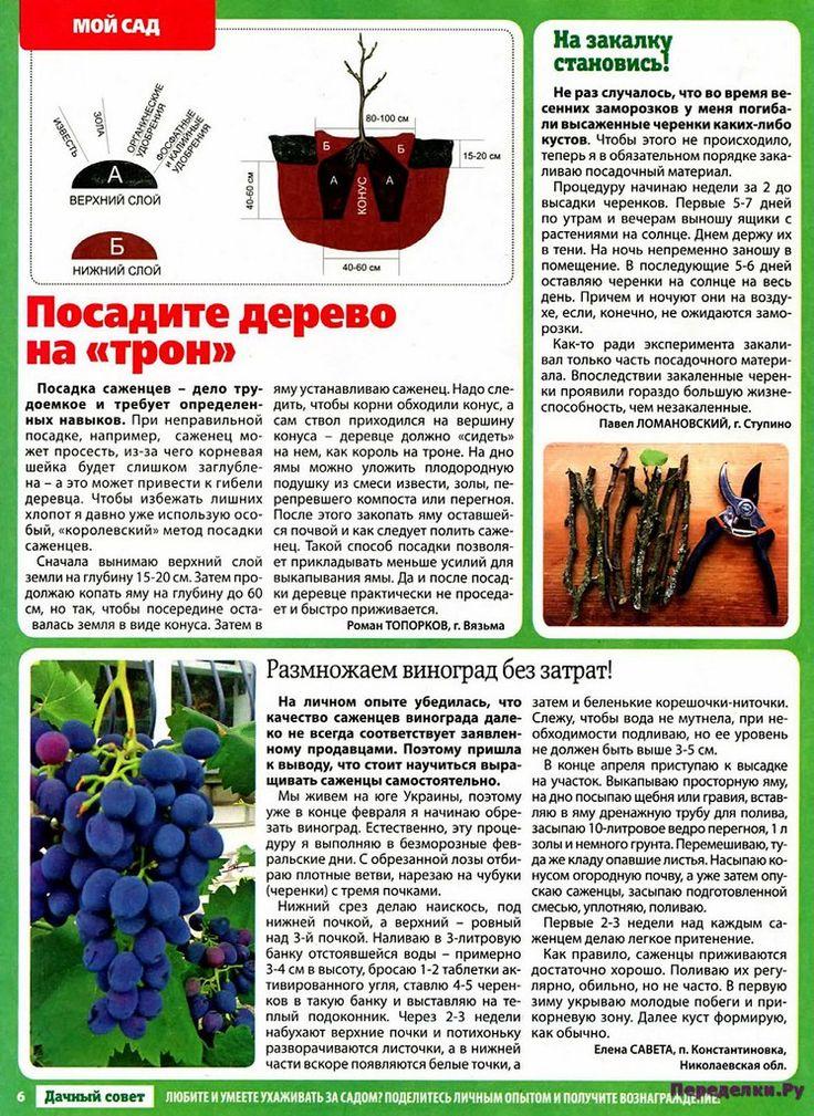 """Виноград """"памяти учителя"""": описание сорта и фото selo.guru — интернет портал о сельском хозяйстве"""