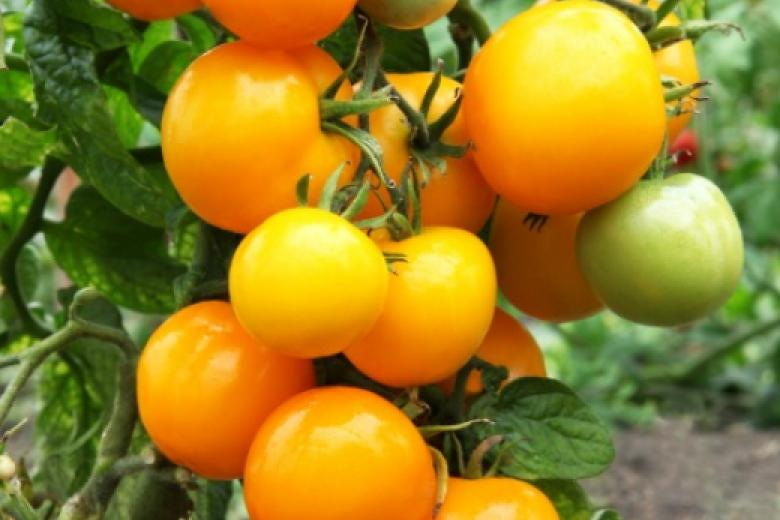 Описание томата Абрикос F1 и агротхеника выращивания сорта