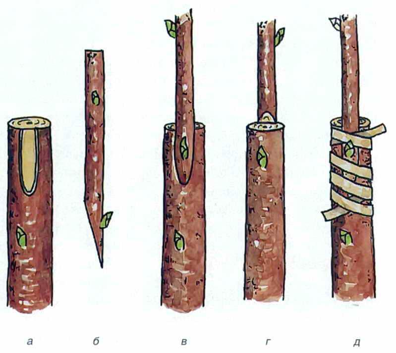 Секреты успешной прививки вишни: инструкции проведения разными способами и на разных подвоях