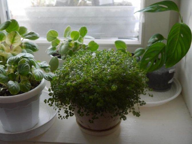 Всё, что нужно знать цветоводу о выращивании броваллии в домашних условиях из семян, а также о других способах