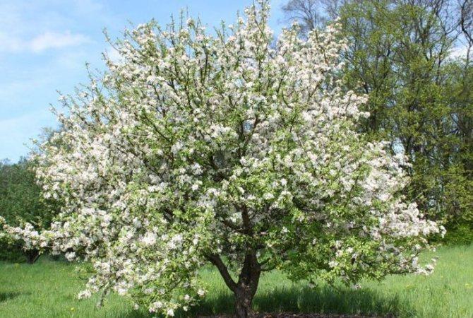 Яблоня ранетка: описание сортов, отзывы о выращивании