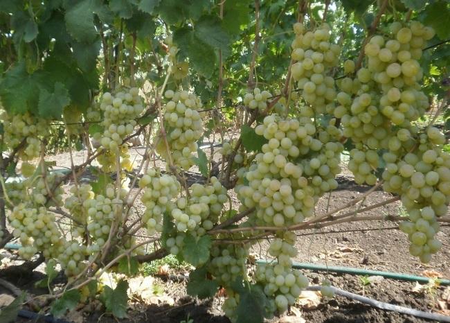 Виноград денисовский: описание сорта, отзывы, особенности посадки