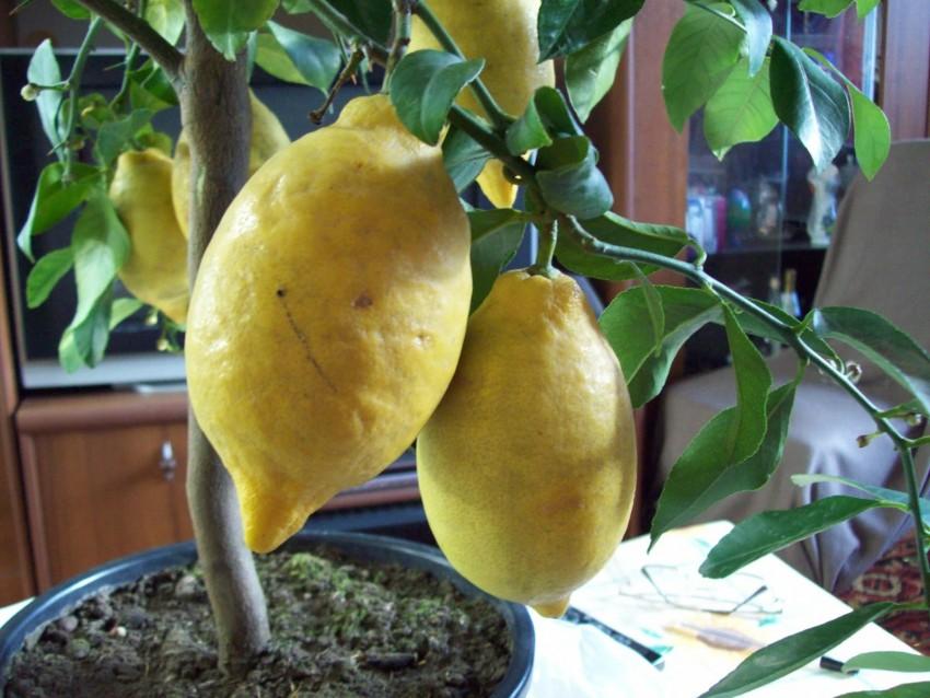 Лимон лунарио - самый распространенный цитрусовый сорт