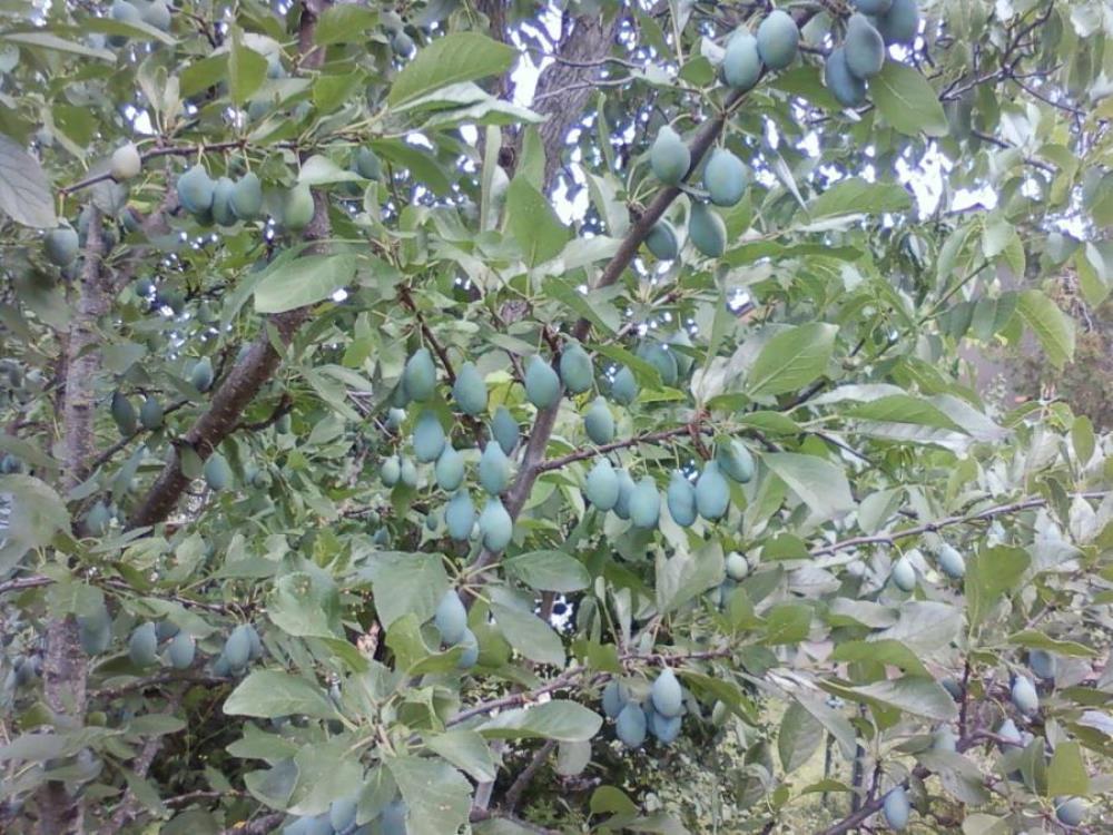 Почему опадают плоды сливы: наиболее частые причины, что делать почему опадают плоды сливы: наиболее частые причины, что делать