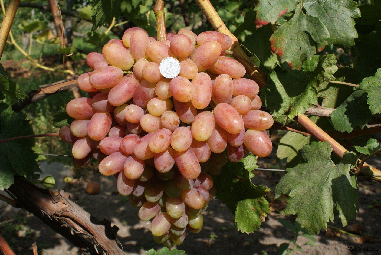 Сорт винограда преображение: особенности выращивания