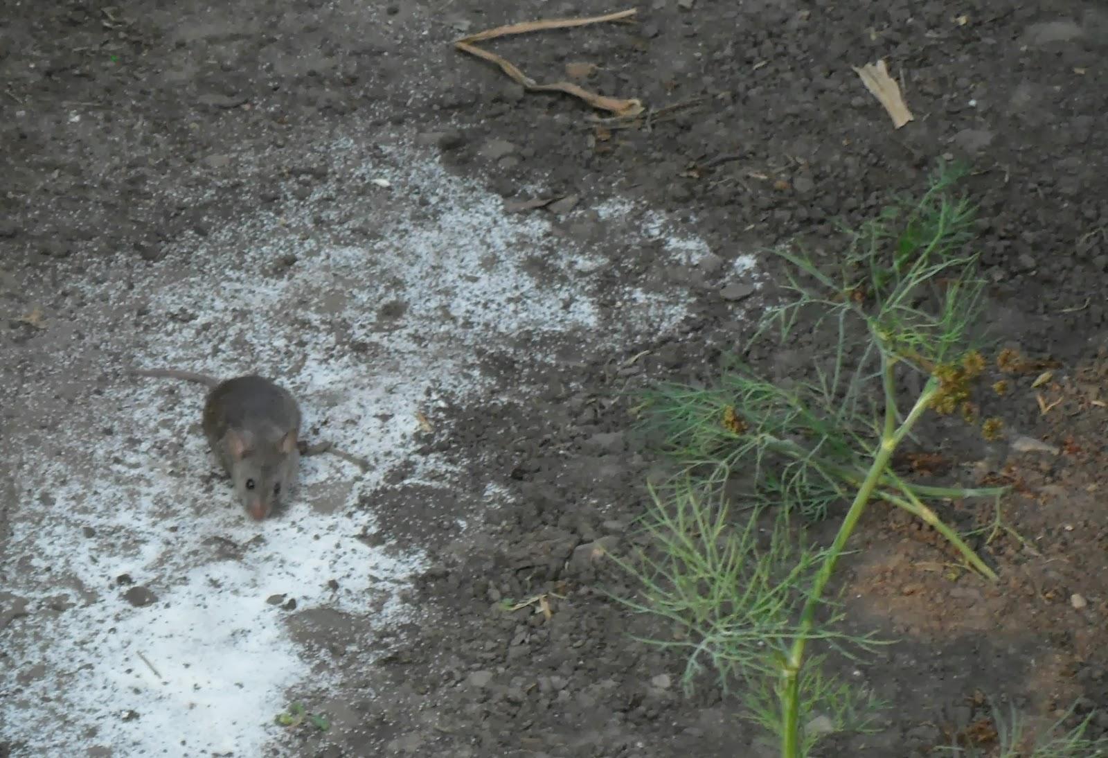 Крысы и мыши в погребе: способы борьбы от народных до инновационных