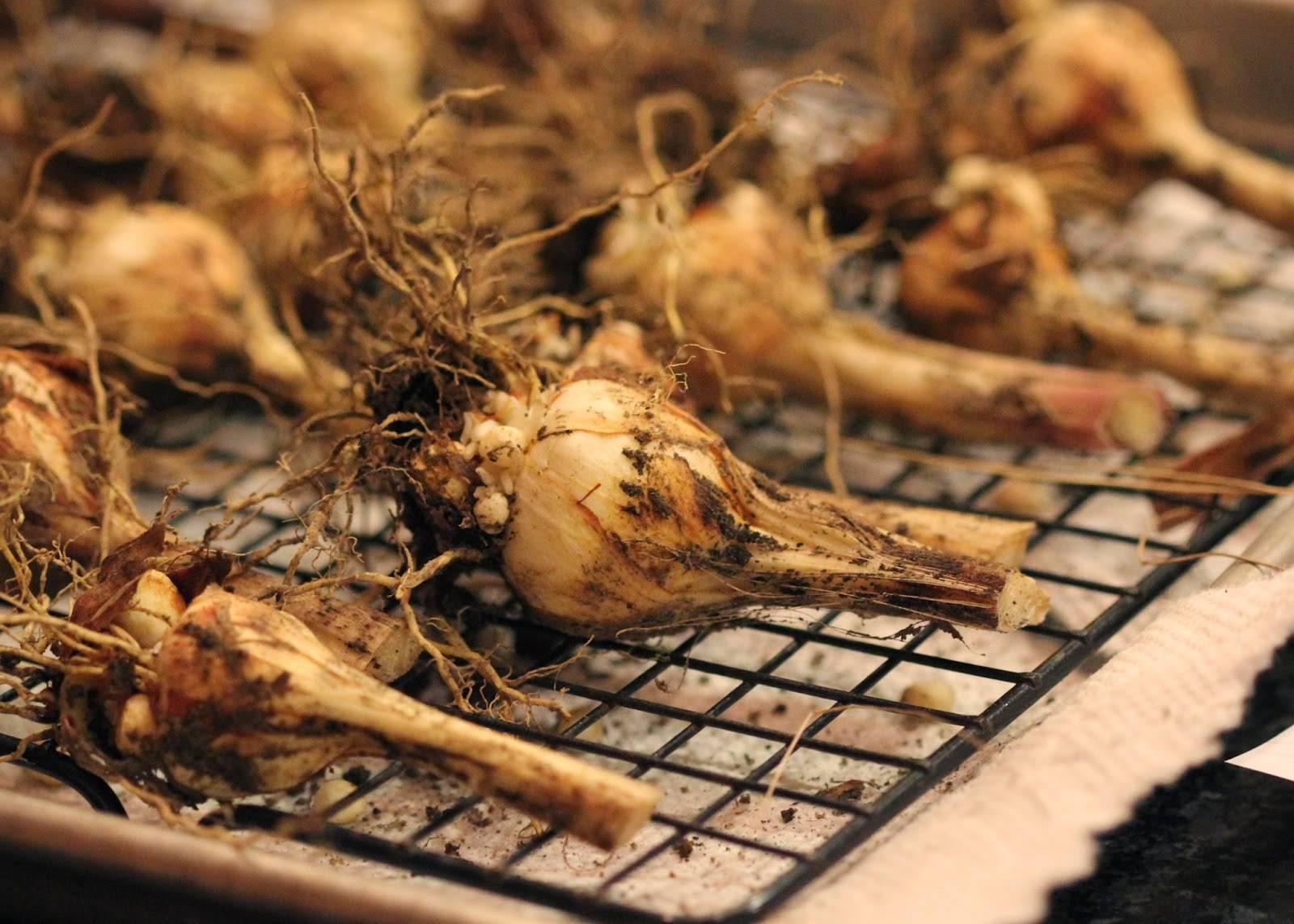 Когда на зиму выкапывают гладиолусы, сроки и правила хранения луковиц