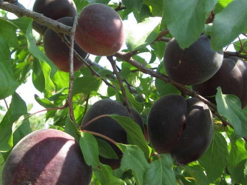 Абрикос восторг описание и характеристики сорта выращивание с фото