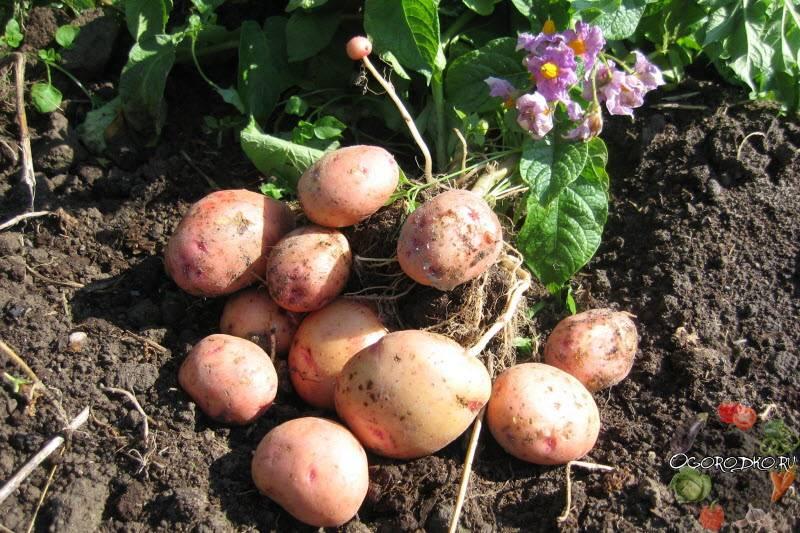 Топ-30 ранних сортов картофеля для средней полосы россии и других регионов страны