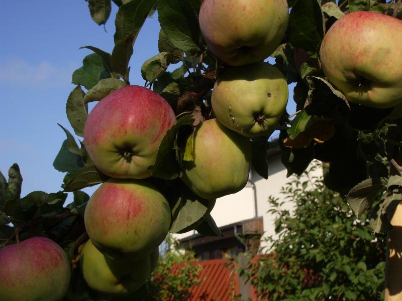 Высокоурожайная яблоня штрейфлинг