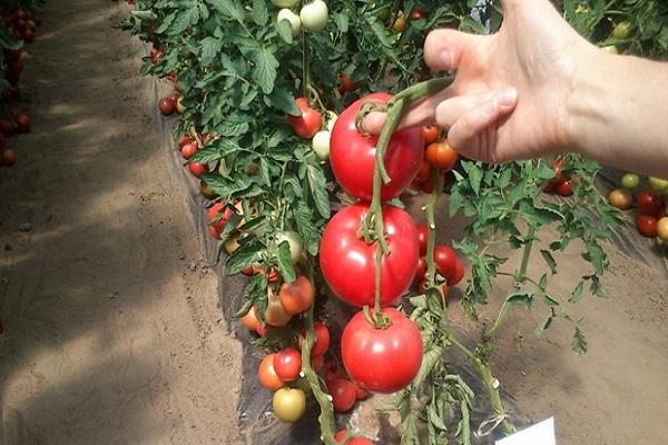Томат пламя f1 (партнер) - описание сорта гибрида, характеристика, урожайность, отзывы, фото