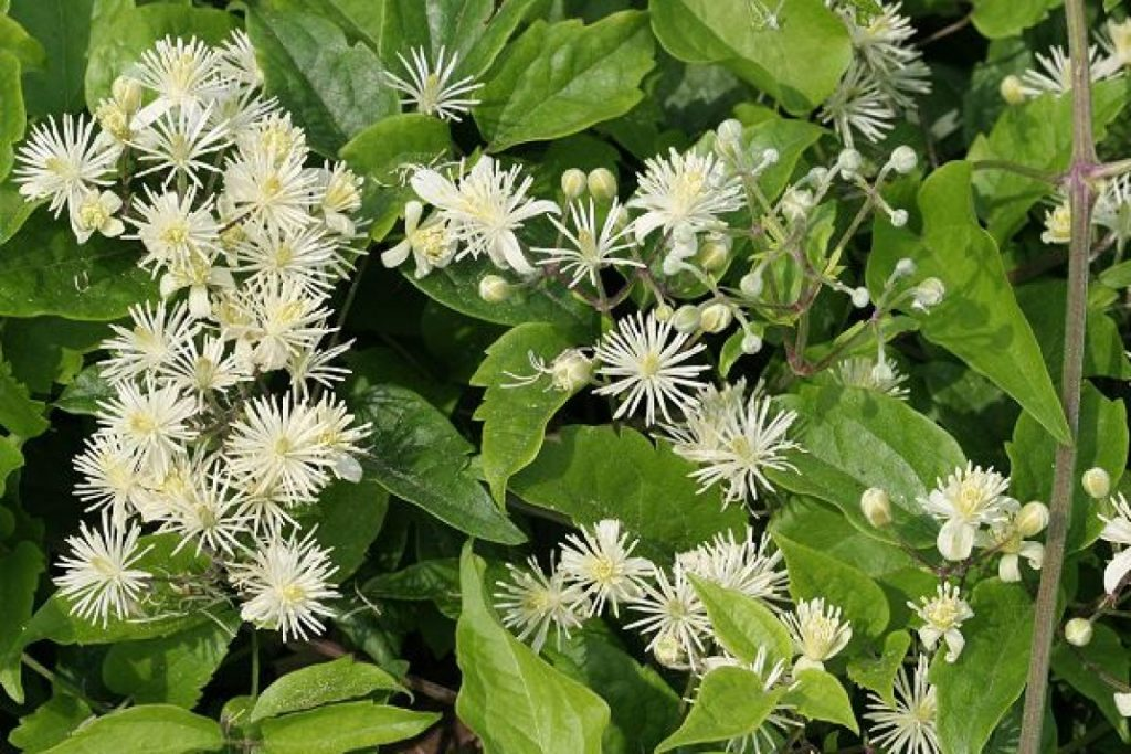 Княжики: виды, сорта, особенности посадки и ухода