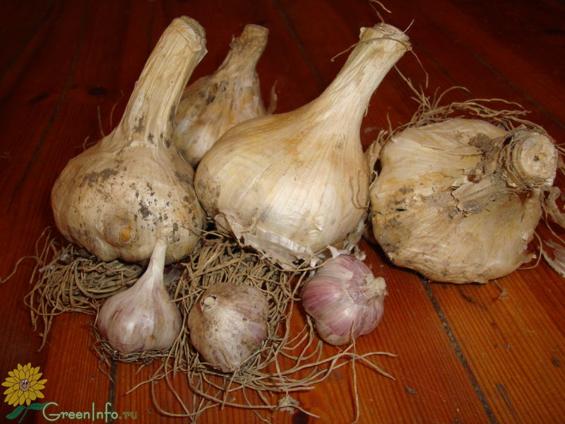 Лук-чеснок рокамболь: описание, посадка, выращивание