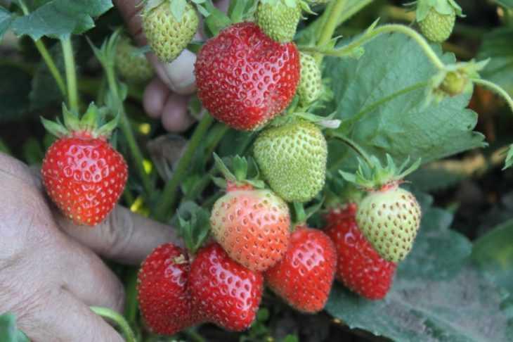 Клубника хоней: реальные отзывы, выращивание сорта, фото и видео