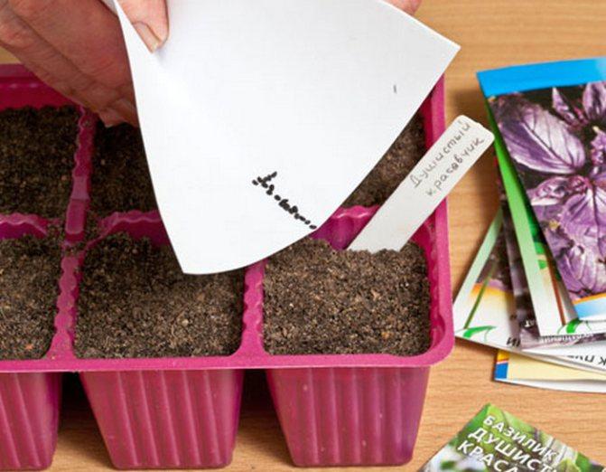 Как вырастить базилик: места для выращивания и уход за ним