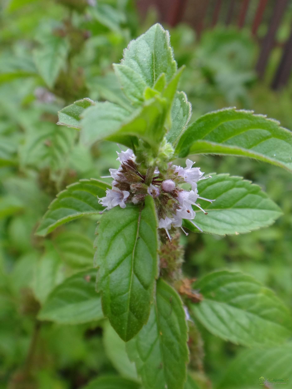 Виды мяты - посадка, размножение, уход и особенности выращивания