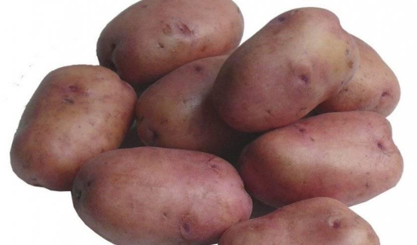 Картофель эволюшн – описание сорта, фото, отзывы