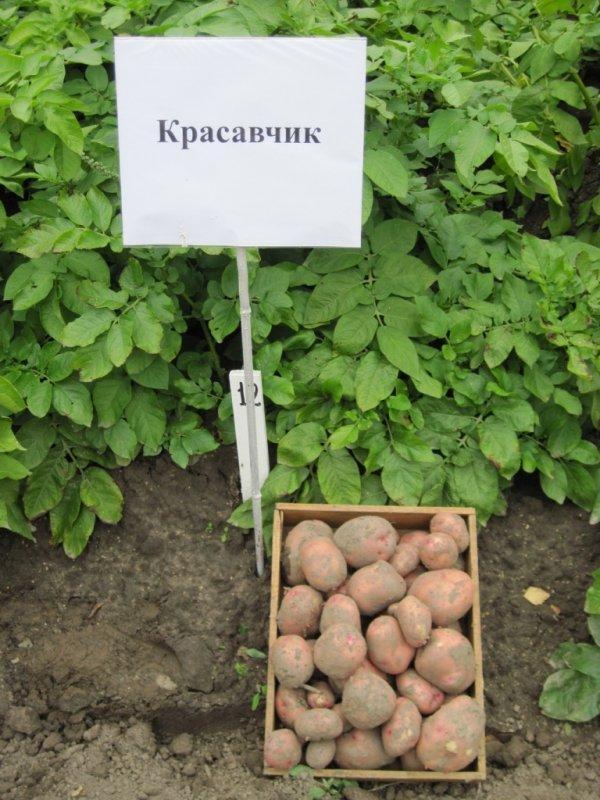 Полное описание картофеля сорта снегирь с фото. советы по уходу и выращиванию