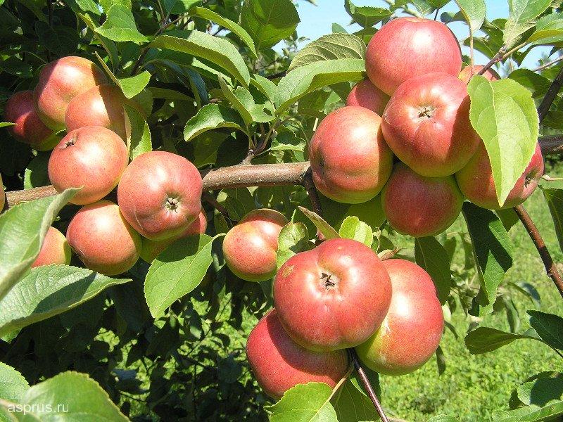 Описание яблони благовест — зимостойкий сорт для суровых территорий
