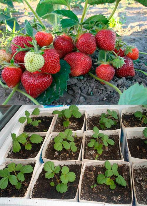 Как вырастить клубнику из семян: советы и инструкции как семенами вырастить клубнику (110 фото)