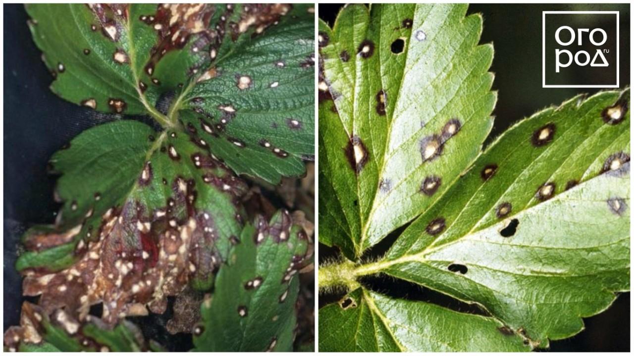 Галловые нематоды - вредители   нпц «фармбиомед»