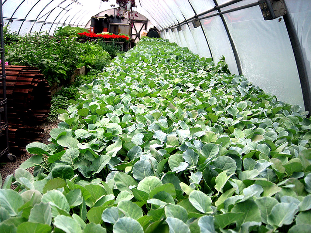 Выращивание и уход за брокколи в открытом грунте и теплице
