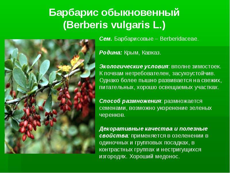 Барбарис: полезные, лечебные свойства и противопоказания, применение, ягоды, сушеные плоды, кустарник, рецепты барбарисового чая