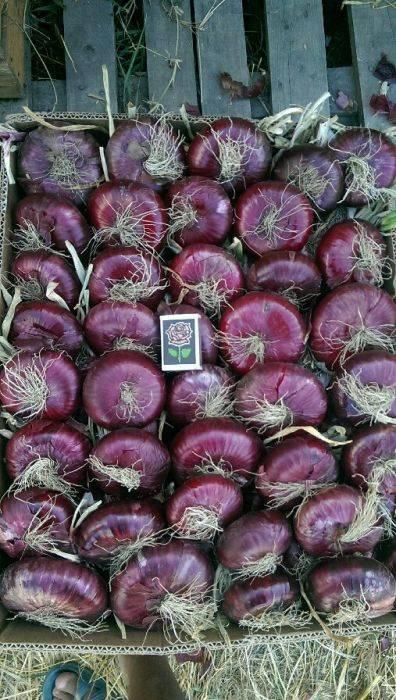 Лук ялтинский: как хранить крымский сорт в квартире или в доме, фото урожая и отзывы, где растет красный сладкий, описание как получить семена, что можно есть
