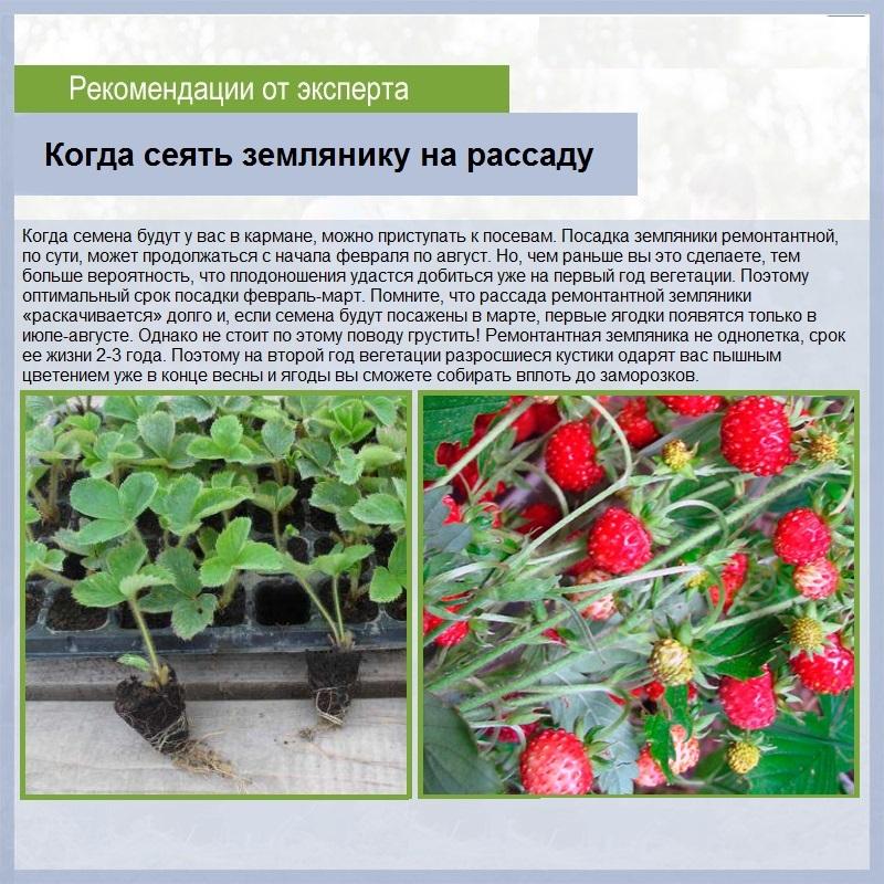 Земляника флер: выращивание, описание сорта, фото и отзывы