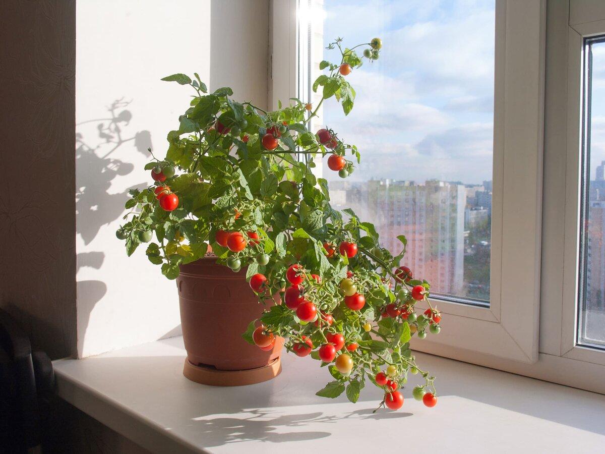 Плюсы и минусы выращивания томатов в горшках. суть метода и описание