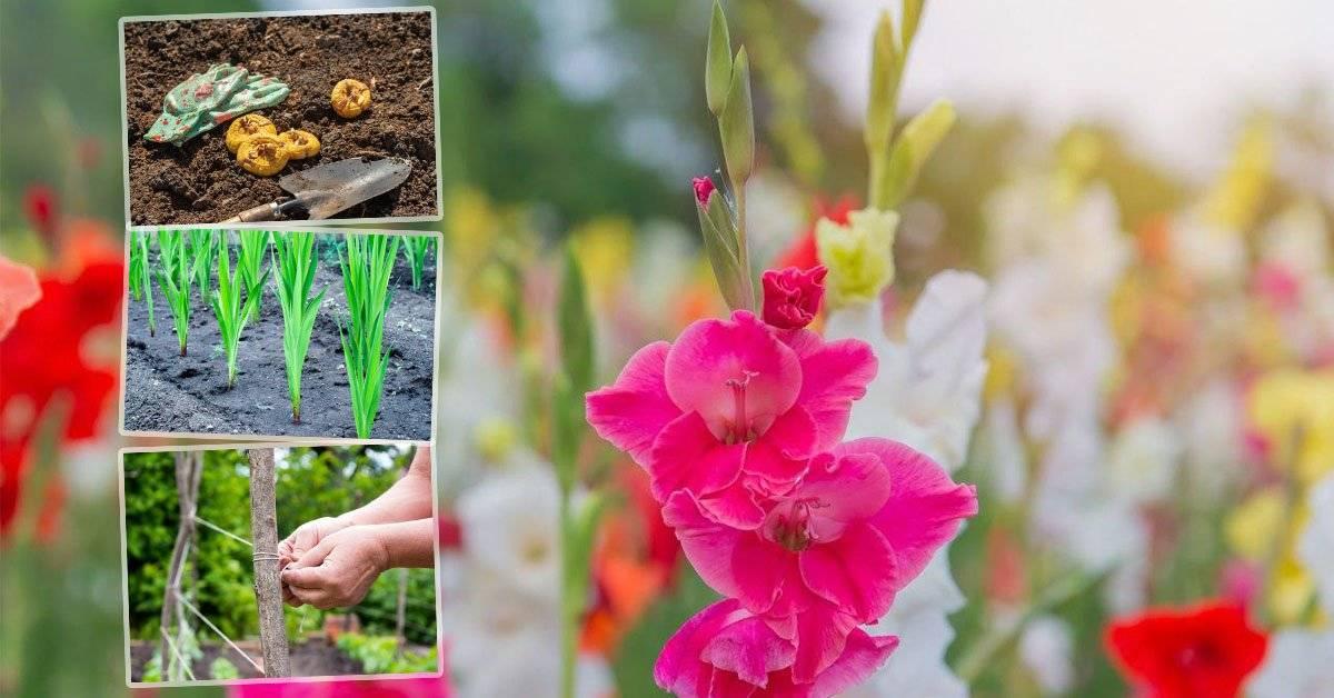 Почему не цветут гладиолусы: возможная причина?