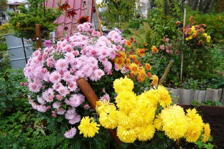 Выращивание хризантем, посадка и уход
