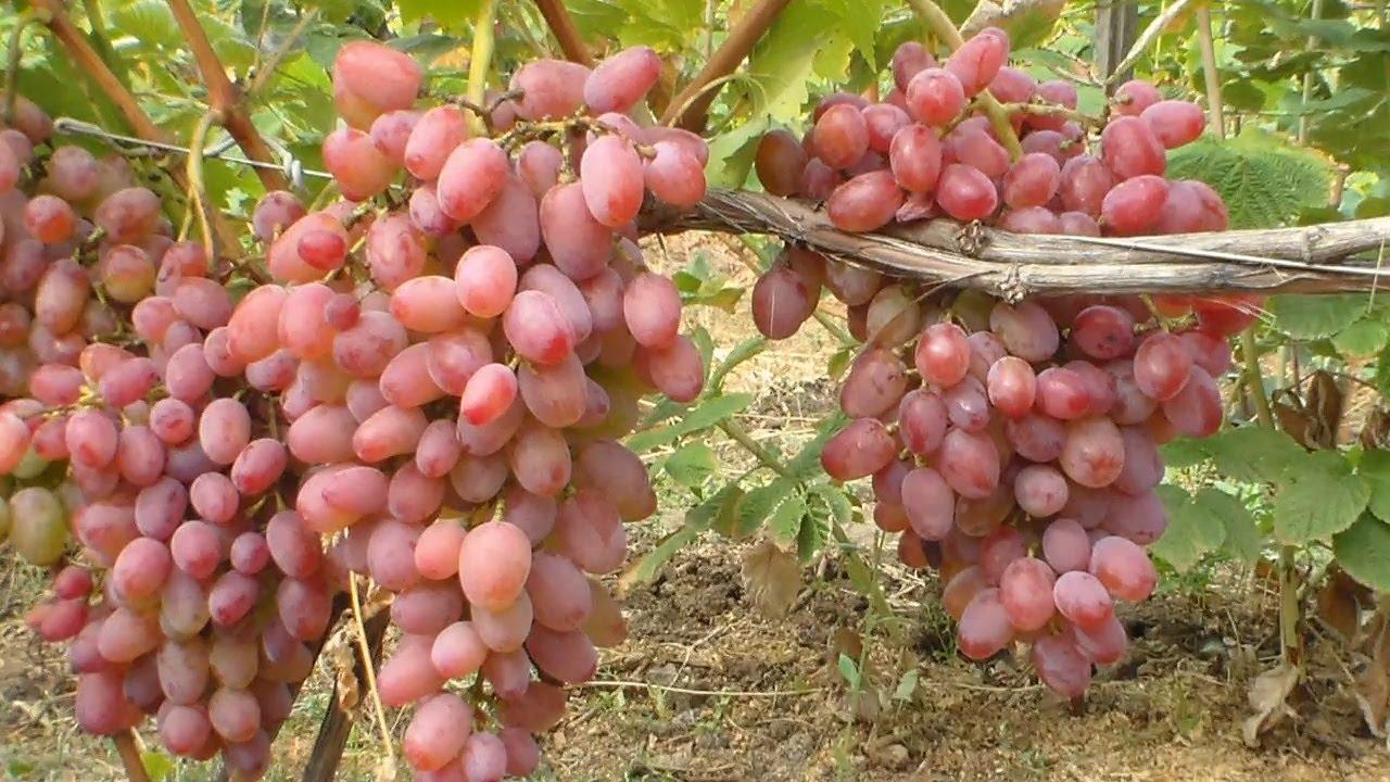 Красивый и сверхранний сорт винограда юлиан