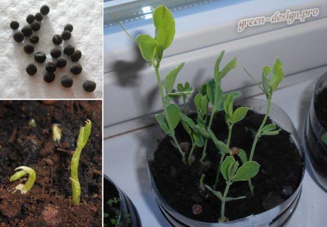Горох: выращивание на огороде, хранение, сорта