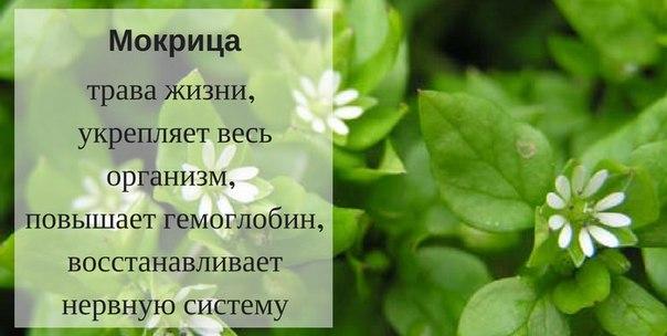 Мокрица (растение)