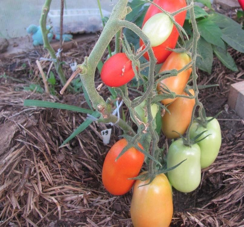 Томат каспар: характеристика и описание сорта, отзывы, урожайность, фото